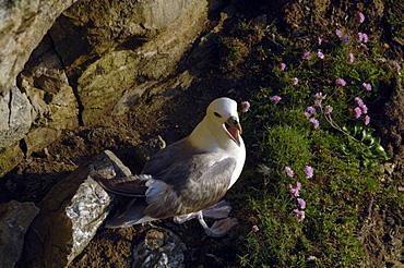 Fulmar petrel (Fulmarus glacialis), Deer Park, Pembrokeshire, Wales, UK, Europe