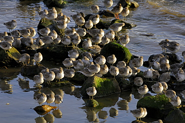 Flock of greenshank, St. Ishmaels, Cardigan Bay