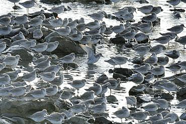 Flock of greenshank, St. Ishmaels, Cardigan Bay    (rr)
