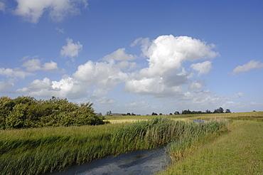 Reen, Newport Wetlands National Nature Reserve, Newport, Wales, UK, Europe