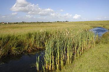 Great Reedmace Typha latifolia Reen, Newport Wetlands National Nature Reserve, Newport, Wales, UK, Europe