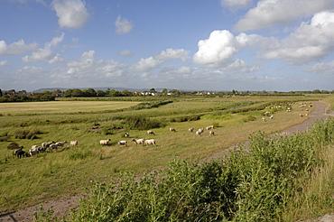 Sheep grazing, Newport Wetlands National Nature Reserve, Newport, Wales, UK, Europe