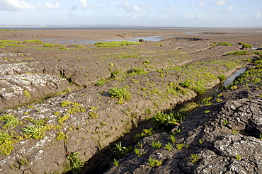 Glasswort, Salicornia, Saltmarsh, Goldcliff, Gwent Levels, Newport, Wales, UK, Europe