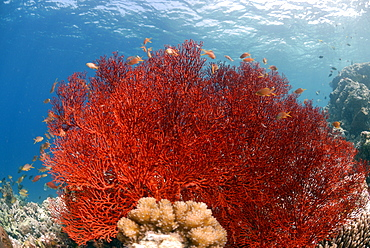 Gorgonian sea fan, Sipadan, Sabah, Malaysia, Borneo, South-east Asia