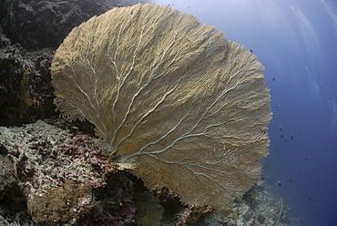 Gorgonian Sea Fan - Annella mollis (Subergorgia mollis), Sipadan, Sabah, Malaysia, Borneo, South-east Asia