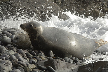 Atlantic Grey Seal mother and pup, Pembrokeshire, Wales, UK, Europe