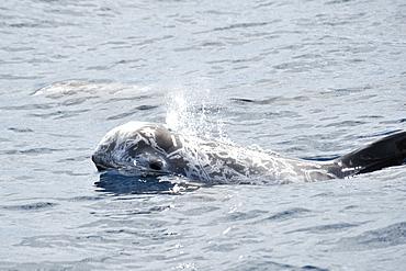 Risso's Dolphin (Grampus griseus). Azores, North Atlantic. Taken 2008