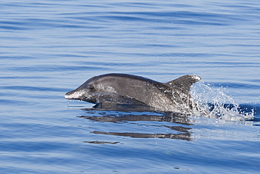Rough-toothed Dolphin, Steno bredanensis, surfacing, Costa Rica, Pacific Ocean. This species can be identified by itís sloping forehead & white ëlipsë.