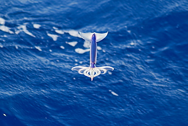 Flying Squid Species in mid-air, roughly 100 nm North of Tristan Da Cunha, South Atlantic Ocean. Flying Squid use membranes between their tentacles (visible on pic) & two fins at the rear of the mantle to glide through the air in a similar way to flying fish.