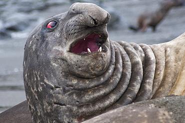 Bull Southern Elephant Seal, Mirounga leonina, South Georgia, South Atlantic Ocean.