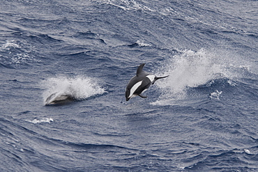 Hourglass Dolphin, Lagenorhynchus cruciger, Male Dolphin breaching at great speed, Drake Passage, Southern Ocean. Males of this species can be identified by the huge hooked dorsal fin and post-anal keel.