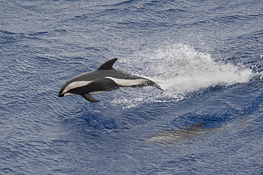 Hourglass Dolphin, Lagenorhynchus cruciger, Female Dolphin porpoising, Drake Passage, Southern Ocean. Females of this species can be identified by the smaller less-hooked dorsal fin and the lack of a post-anal keel.