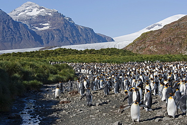 King Penguin Colony (Aptenodytes patagonicus) with South Georgia mountains in the background. Salisbury Plain, South Georgia.
