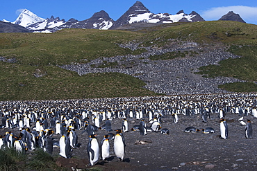 King Penguin (Aptenodytes patagonicus) colony with South Georgia mountains in the background. Salisbury Plain, South Georgia, South Atlantic Ocean.