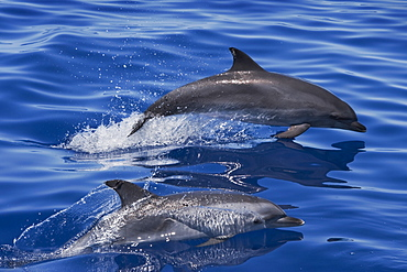 Atlantic Spotted Dolphin (Stenella frontalis) two adults porpoising. Azores, Atlantic Ocean.