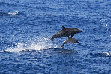 Atlantic Spotted Dolphin (Stenella frontalis) adult Female and Calf porpoising. Azores, Atlantic Ocean.