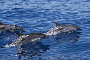 Atlantic Spotted Dolphin (Stenella frontalis) three adults porpoising. Azores, Atlantic Ocean.