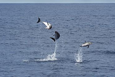 Atlantic Spotted Dolphin (Stenella frontalis) three animals breach simultaneously. Azores, Atlantic Ocean.