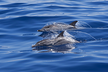 Atlantic Spotted Dolphin (Stenella frontalis) two animals surfacing. Azores, Atlantic Ocean.