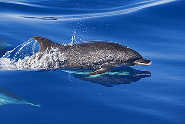 Atlantic Spotted Dolphin group (Stenella frontalis) mature adult surfacing with reflection visible. Azores, Atlantic Ocean.