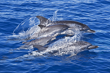Atlantic Spotted Dolphin group (Stenella frontalis) two mature adult Females and two Juvenile animals. Azores, Atlantic Ocean