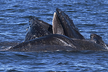 Humpback Whales (Megaptera novaeangliae) lunge-feeding on Krill. Monterey, California, Pacific Ocean. MORE INFO: Baleen Plates are visible on the top jaw & Krill can be seen escaping from the animals mouths.