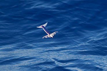 """Flying Squid Species in mid-air (Ommastrephes bartramii). Extremely rare unusual image.  South Atlantic Ocean. MORE INFO: Flying Squid use membranes between their tentacles (visible on pic) & two fins at the rear of the mantle to glide through the air in a similar way to flying fish. These unique adaptations allow them to avoid predation more easily. Ommastrephid squids are among the strongest swimmers in the Cephalopoda. A number of species are fished commercially. This particular species (Ommastrephes bartramii), is commonly known as """"Neon Flying Squid"""" due to its colouration and its ability to glide over the ocean surface as seen in the photographs. Please note that this is a genuine image of a wild animal in its natural environment. It is not a digital manipulation."""