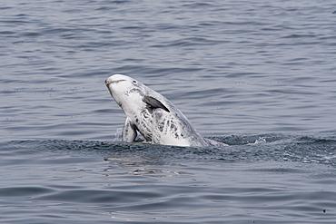 Rissos dolphin (Grampus griseus), adult animal breaching, Monterey, California, United States of America, North America