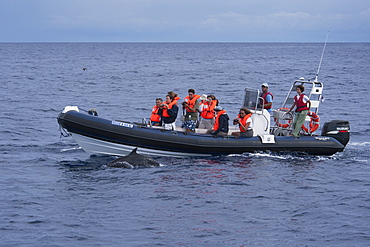 Tourists watch an Atlantic spotted dolphin (Stenella frontalis), during a Whale-Watching trip, Azores, Atlantic Ocean