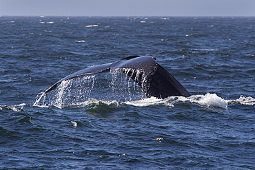 Humpback whale (Megaptera novaeangliae) fluking, Monterey, California, Pacific Ocean, United States of America, North America