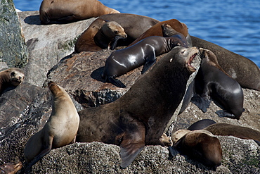 California sealions (Zalophus californianus) large dominant bull growling at the rest of the rookery, Monterey, California, United States of America, North America