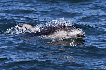 Pacific white-sided dolphin (Lagenorhynchus obliquidens) surfacing, Monterey, California, Pacific Ocean, United States of America, North America