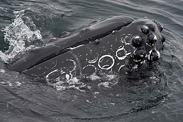 Humpback whale (Megaptera novaeangliae) interacting with Whalewatch boat, Monterey, California, United States of America, North America