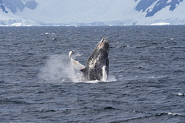 Humpback whale (Megaptera novaeangliae) breaching in front of glacier, Antarctic Peninsula, Antarctica, Polar Regions