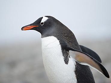 Gentoo penguin (Pygoscelis papua) walking, Hannah Point, South Shetland Islands, Antarctica, Polar Regions