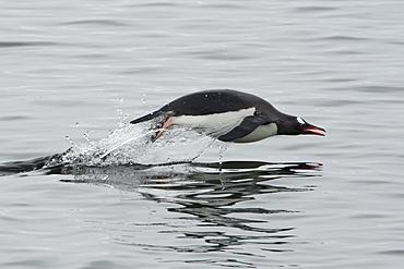 Gentoo penguin (Pygoscelis papua) porpoising, Antarctic Peninsula, Antarctica, Polar Regions