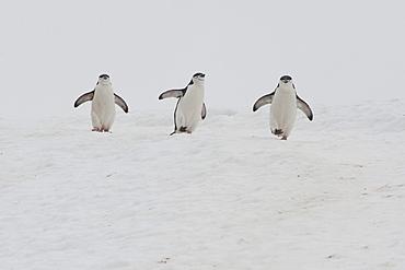 Chinstrap Penguins (Pygoscelis antarcticus), Orne Harbour, Antarctic Peninsula, Antarctica, Polar Regions