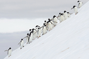 Adelie Penguin (Pygoscelis adeliae) large group on iceberg, Yalour Islands, Antarctic Peninsula, Antarctica, Polar Regions
