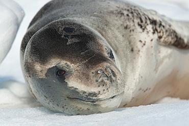 Leopard seals (Hydrurga leptonyx) resting on iceberg near penguin colony, Pleneau Island, Antarctic Peninsula, Antarctica, Polar Regions