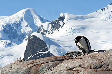Adult Gentoo penguin (Pygoscelis papua) and chick on nest, with mountains and glaciers in background, Antarctic Peninsula, Antarctica, Polar Regions