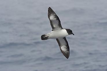 Cape Petrel (Daption capense) soaring in the Drake Passage, Southern Ocean, Antarctica, Polar Regions