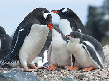 Gentoo penguin adult (Pygoscelis papua) feeding chicks, Hannah Point, South Shetland Islands, Antarctica, Polar Regions