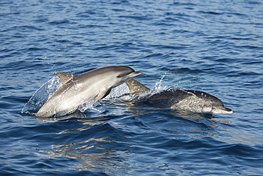 Atlantic spotted dolphins (Stenella frontalis) adult and calf porpoising, La Gomera, Canary Islands, Atlantic, Spain, Europe