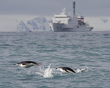 Chinstrap penguins (Pygoscelis antarcticus) porpoising in front of expedition ship, Half Moon Island, South Shetland Islands, Antarctica, Polar Regions