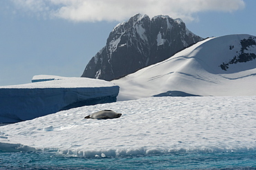 Crabeater seal (Lobodon carcinophagus) resting on an iceberg with mountain in background, Antarctic Peninsula, Antarctica, Polar Regions