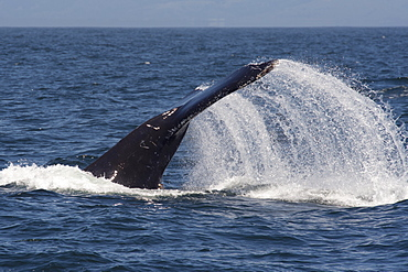 Humpback whale (Megaptera novaeangliae), lob-tailing or tail-throwing, Monterey, California, United States of America, North America