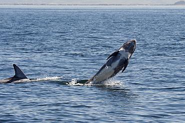 Rissos dolphin (Grampus griseus) breaching, Monterey, California, United States of America, North America