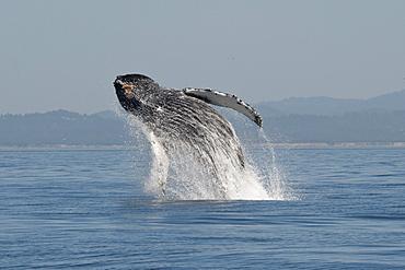 Humpback whale (Megaptera novaeangliae) adult breaching high in the air, Monterey, California, United States of America, North America