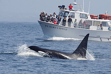 Male transient killer whale (Biggs killer whale) (Orca) (Orcinus orca) surfacing in front of boat in the Pacific Ocean, Monterey, California, United States of America, North America