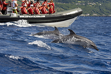 Tourists watch Atlantic Spotted Dolphins, Stenella frontalis, during a Whale-Watching trip, Azores, Atlantic Ocean